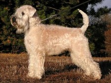 Imagen de Irish Soft Coated Wheaten Terrier