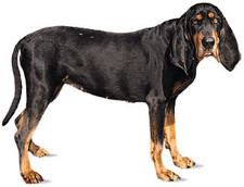 Imagen de Black and Tan Coonhound